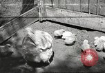 Image of chicken United States USA, 1920, second 1 stock footage video 65675060944