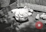 Image of chicken United States USA, 1920, second 2 stock footage video 65675060944