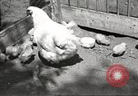 Image of chicken United States USA, 1920, second 6 stock footage video 65675060944