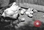 Image of chicken United States USA, 1920, second 7 stock footage video 65675060944