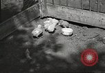 Image of chicken United States USA, 1920, second 8 stock footage video 65675060944