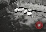 Image of chicken United States USA, 1920, second 9 stock footage video 65675060944