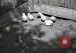 Image of chicken United States USA, 1920, second 10 stock footage video 65675060944