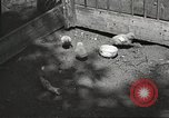 Image of chicken United States USA, 1920, second 13 stock footage video 65675060944