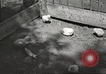 Image of chicken United States USA, 1920, second 17 stock footage video 65675060944