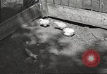 Image of chicken United States USA, 1920, second 20 stock footage video 65675060944