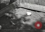 Image of chicken United States USA, 1920, second 21 stock footage video 65675060944