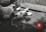 Image of chicken United States USA, 1920, second 22 stock footage video 65675060944