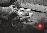 Image of chicken United States USA, 1920, second 23 stock footage video 65675060944