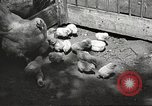 Image of chicken United States USA, 1920, second 24 stock footage video 65675060944