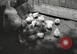 Image of chicken United States USA, 1920, second 25 stock footage video 65675060944