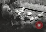 Image of chicken United States USA, 1920, second 27 stock footage video 65675060944
