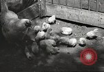 Image of chicken United States USA, 1920, second 28 stock footage video 65675060944