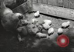 Image of chicken United States USA, 1920, second 29 stock footage video 65675060944