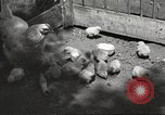 Image of chicken United States USA, 1920, second 30 stock footage video 65675060944