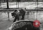 Image of bears United States USA, 1920, second 8 stock footage video 65675060945