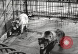 Image of bears United States USA, 1920, second 11 stock footage video 65675060945