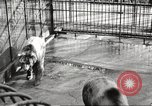 Image of bears United States USA, 1920, second 12 stock footage video 65675060945