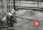 Image of bears United States USA, 1920, second 13 stock footage video 65675060945