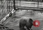 Image of bears United States USA, 1920, second 15 stock footage video 65675060945