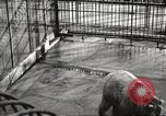 Image of bears United States USA, 1920, second 16 stock footage video 65675060945