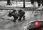 Image of bears United States USA, 1920, second 20 stock footage video 65675060945