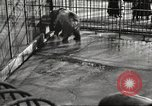 Image of bears United States USA, 1920, second 23 stock footage video 65675060945