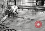Image of bears United States USA, 1920, second 25 stock footage video 65675060945
