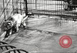 Image of bears United States USA, 1920, second 26 stock footage video 65675060945