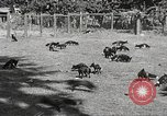 Image of black foxes Seattle Washington USA, 1934, second 13 stock footage video 65675061007