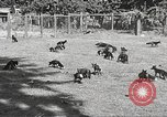 Image of black foxes Seattle Washington USA, 1934, second 14 stock footage video 65675061007
