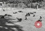 Image of black foxes Seattle Washington USA, 1934, second 15 stock footage video 65675061007