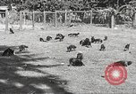 Image of black foxes Seattle Washington USA, 1934, second 16 stock footage video 65675061007