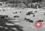 Image of black foxes Seattle Washington USA, 1934, second 17 stock footage video 65675061007