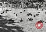 Image of black foxes Seattle Washington USA, 1934, second 19 stock footage video 65675061007