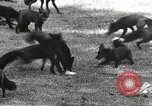 Image of black foxes Seattle Washington USA, 1934, second 20 stock footage video 65675061007