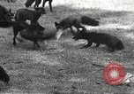 Image of black foxes Seattle Washington USA, 1934, second 21 stock footage video 65675061007