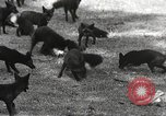 Image of black foxes Seattle Washington USA, 1934, second 22 stock footage video 65675061007