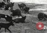 Image of black foxes Seattle Washington USA, 1934, second 23 stock footage video 65675061007