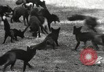 Image of black foxes Seattle Washington USA, 1934, second 24 stock footage video 65675061007