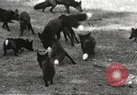 Image of black foxes Seattle Washington USA, 1934, second 25 stock footage video 65675061007