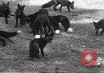Image of black foxes Seattle Washington USA, 1934, second 26 stock footage video 65675061007