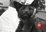 Image of black foxes Seattle Washington USA, 1934, second 57 stock footage video 65675061007