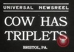 Image of young cows Bristol Pennsylvania USA, 1934, second 2 stock footage video 65675061024