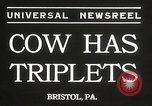 Image of young cows Bristol Pennsylvania USA, 1934, second 3 stock footage video 65675061024