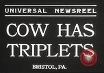 Image of young cows Bristol Pennsylvania USA, 1934, second 6 stock footage video 65675061024