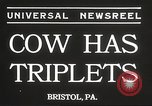 Image of young cows Bristol Pennsylvania USA, 1934, second 8 stock footage video 65675061024