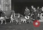 Image of young cows Bristol Pennsylvania USA, 1934, second 11 stock footage video 65675061024