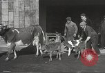 Image of young cows Bristol Pennsylvania USA, 1934, second 12 stock footage video 65675061024