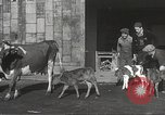 Image of young cows Bristol Pennsylvania USA, 1934, second 14 stock footage video 65675061024